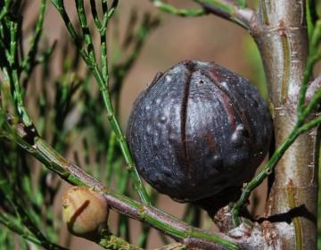 Zapfen Schmuckzypresse (Callitris preissii)