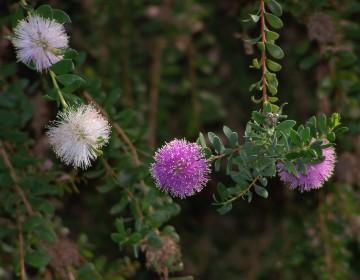 Insel-Myrtenheide (M. nesophila)