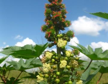 Gemeiner Wunderbaum