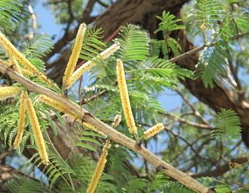 Katechu-Akazie