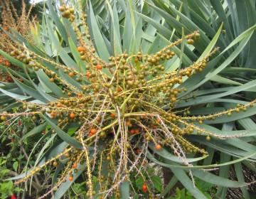 Drachenbaumfrucht