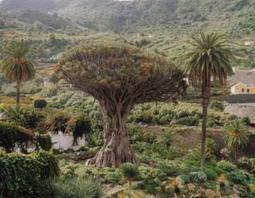 Kanarischer Drachenbaum