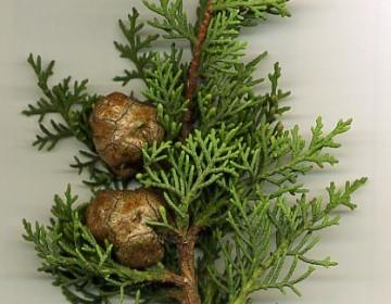 Zweig Mittelmeerzypresse