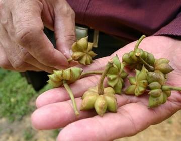 Früchte Sternanis