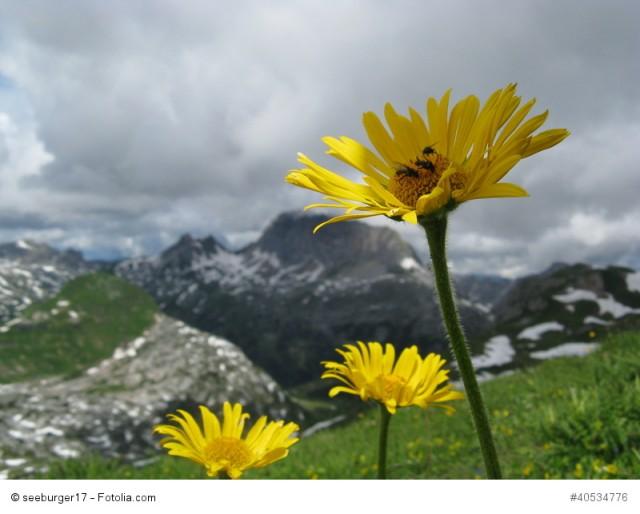 Arnika, Arnica montana