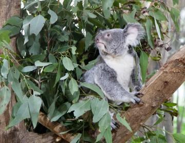 Erkältung Eukalyptus