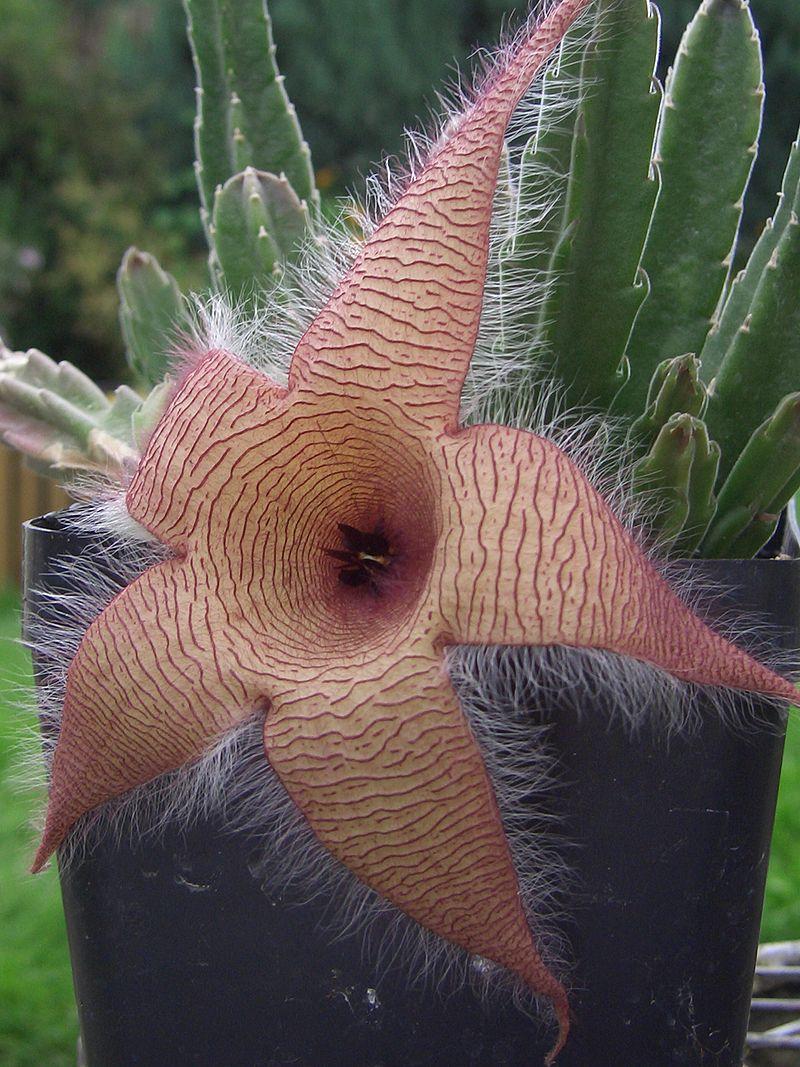 Aaspflanze Aasblume