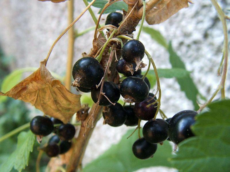 Aalbeere, schwarze Johannisbeere