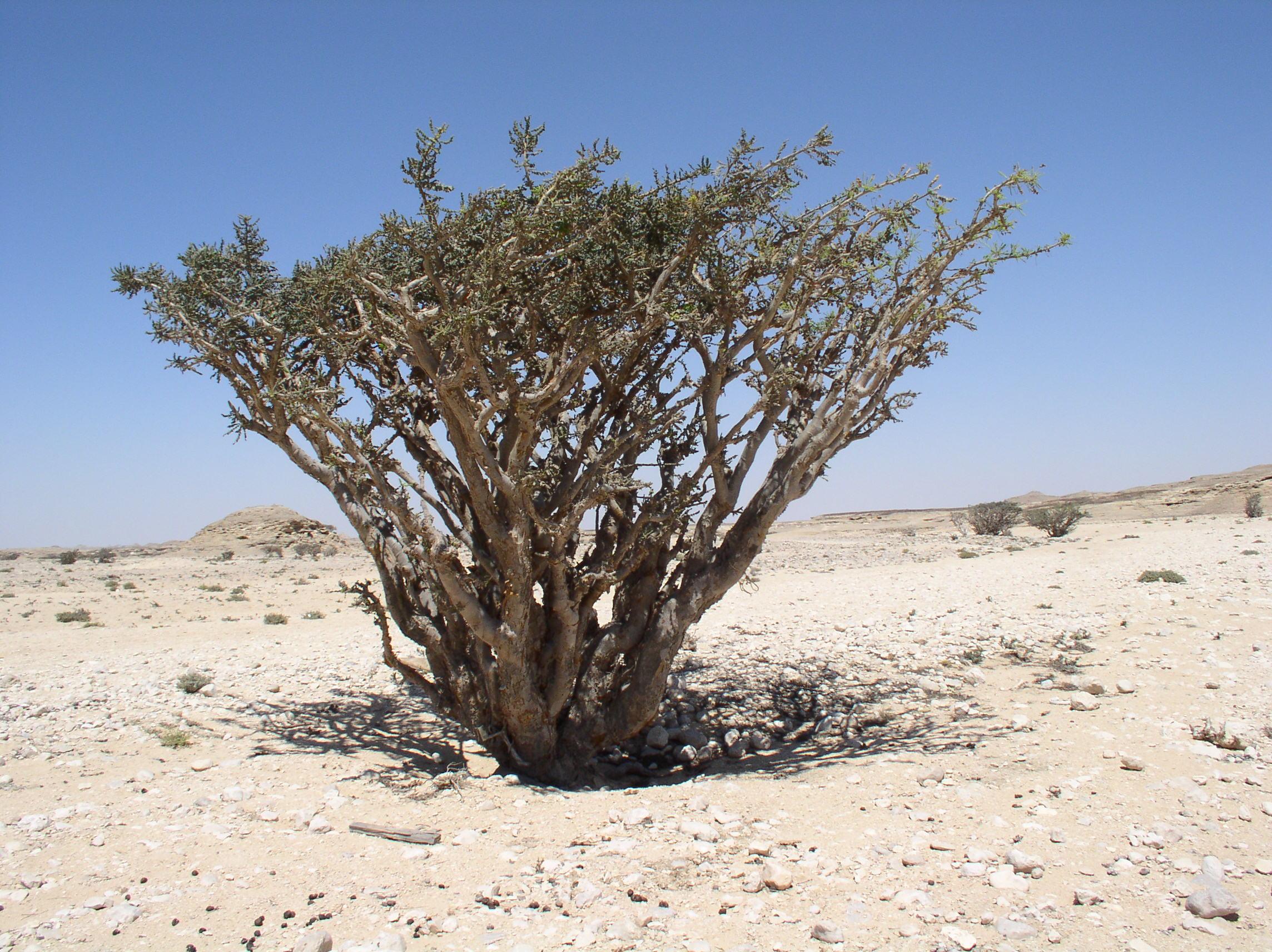 Weihrauch-Baum