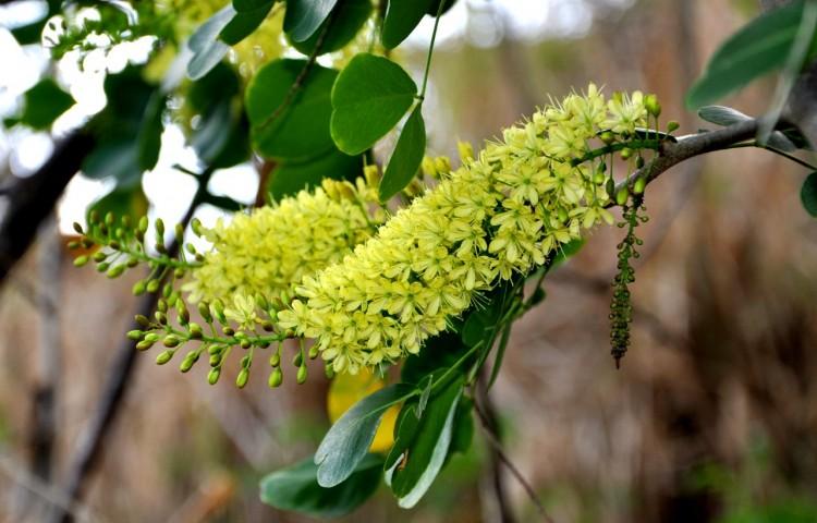 Blütenstand Blutholzbaum