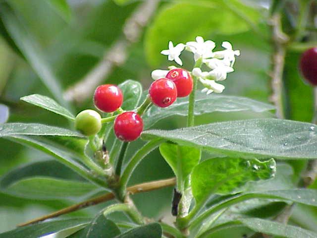 Blütenstand,unreife Früchte der Brechwurzel