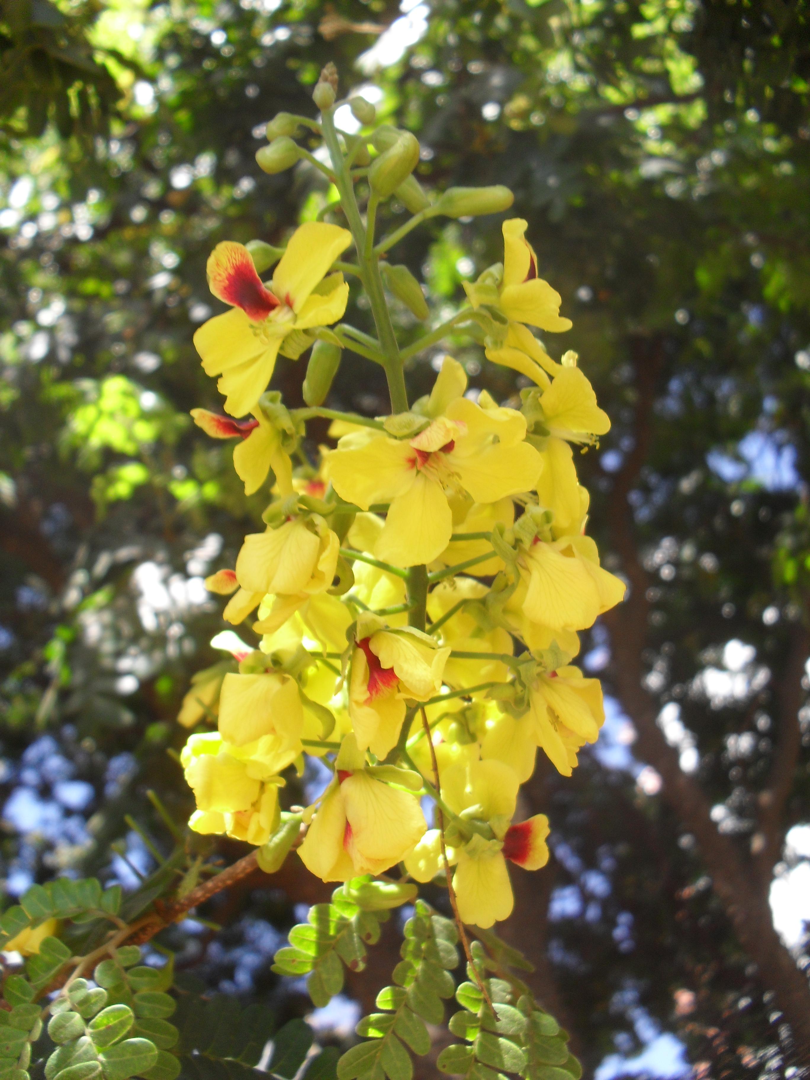 Blütenstand Cäsalpinie
