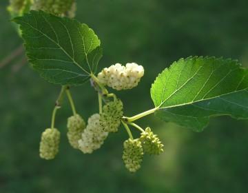 Frucht der weißen Maulbeere