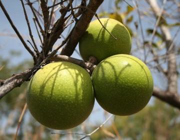 Brechnuss-Frucht