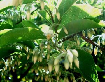 Blüten und Knospen des Styrax dasyanthus