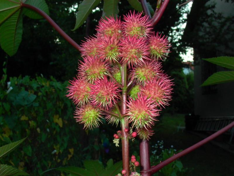 Wunderbaumfrucht
