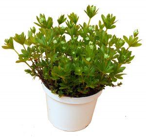 Waldmeister Pflanze