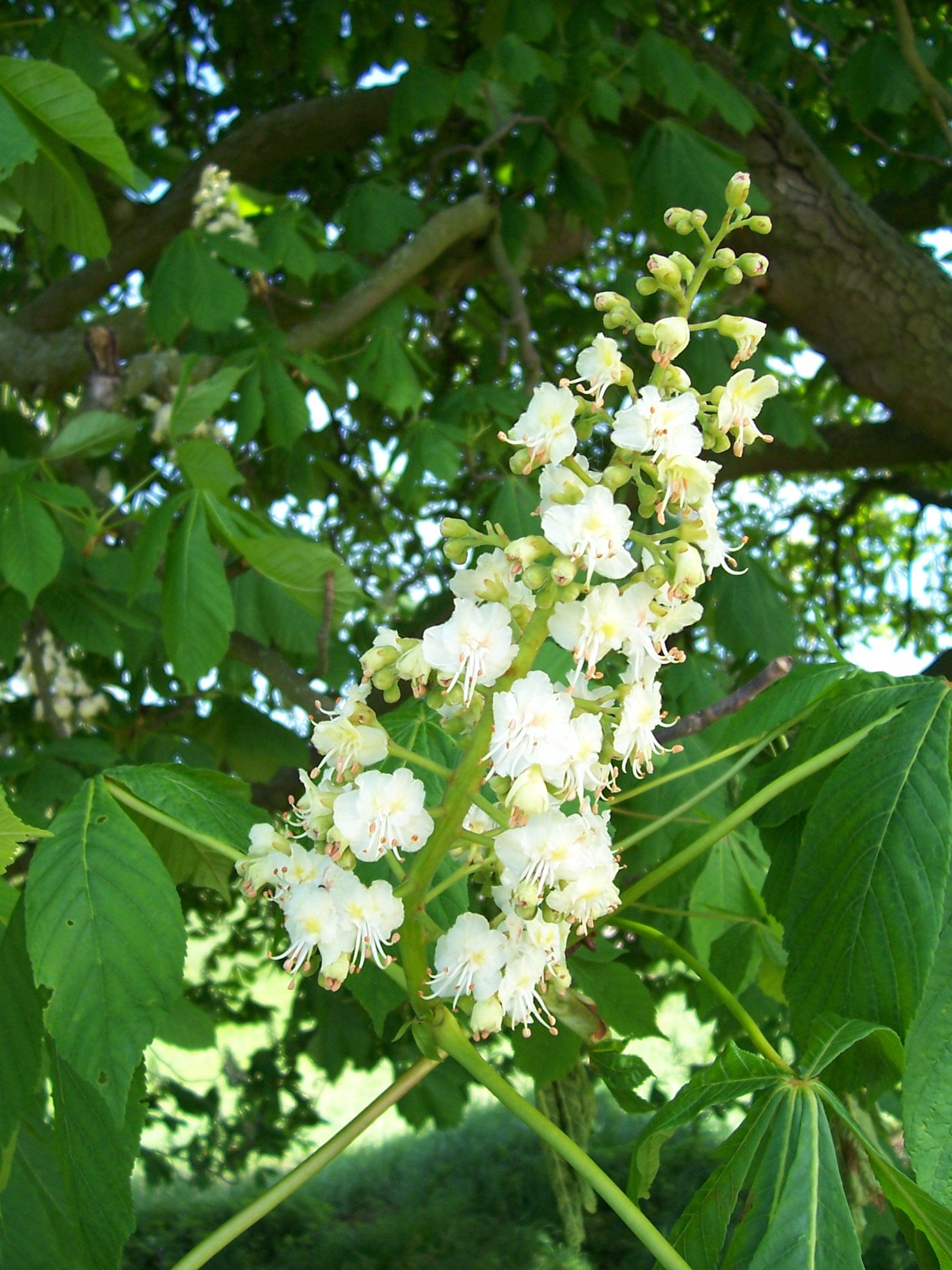 Blüten Rosskastanie
