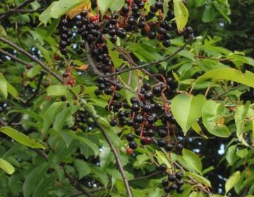 Spätblühende Traubenkirsche