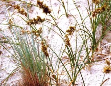 Sand-Riedgras