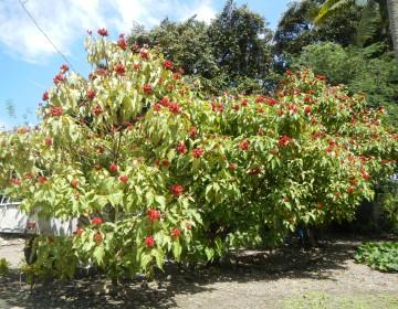 Gemeiner Orleanbaum