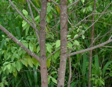 weißes Sandelholz (Borke)
