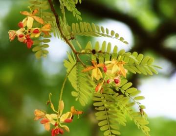 Tamarinden Laubblätter & Blütenstände