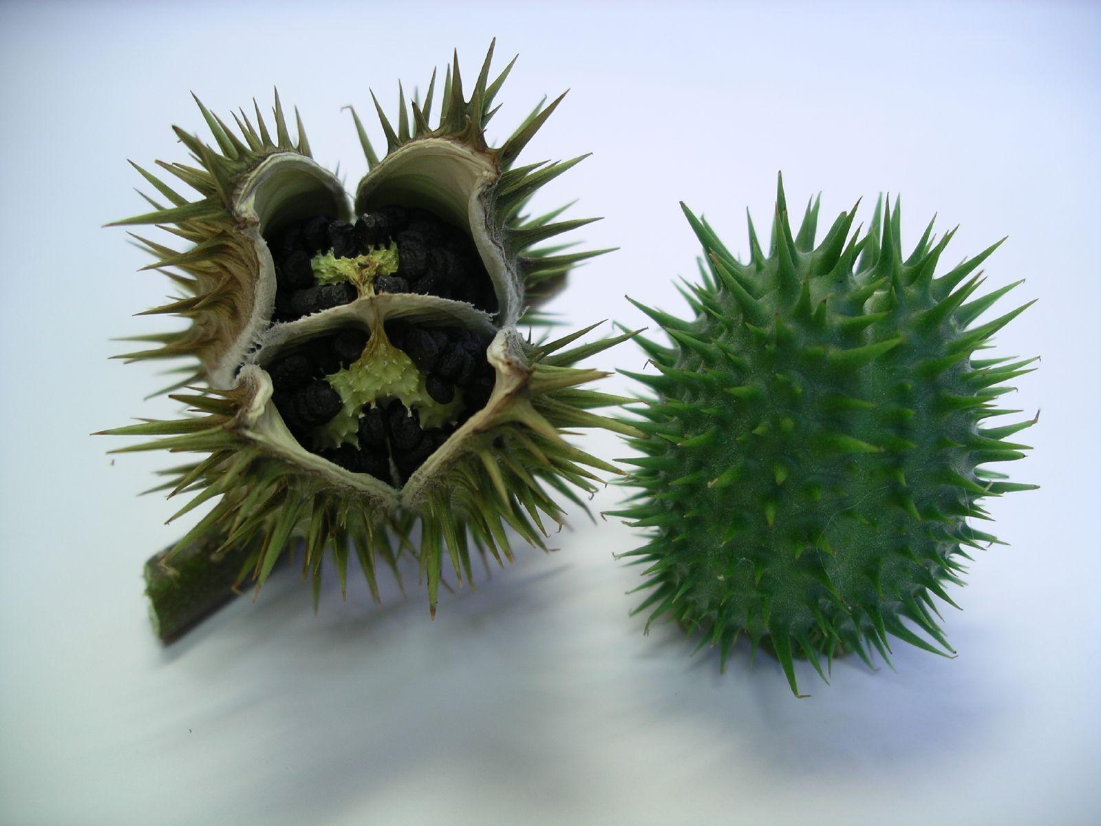 Frucht d. gemeinen Stechapfels