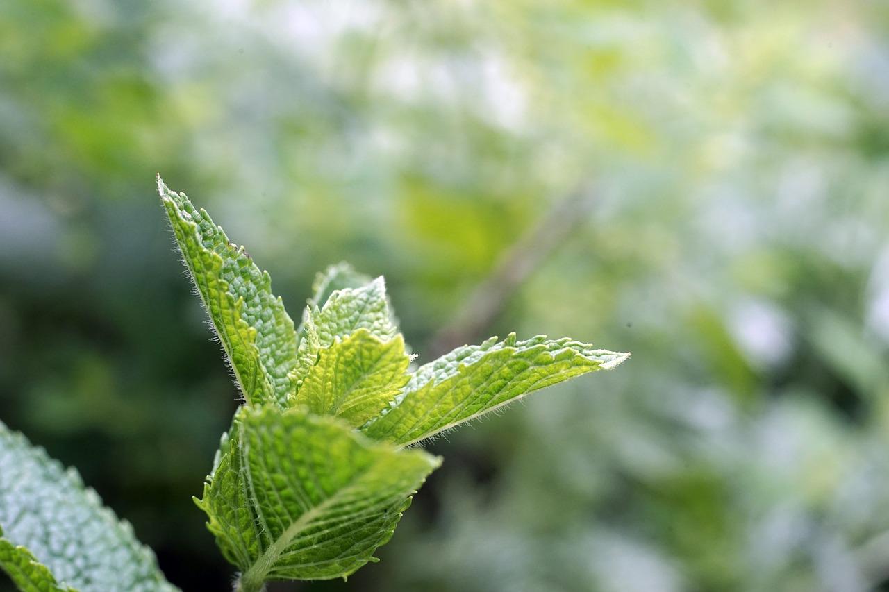 Sammelkalender Juni für Heilkräuter, Heilpflanzen, Wildkräuter, Wildpflanzen